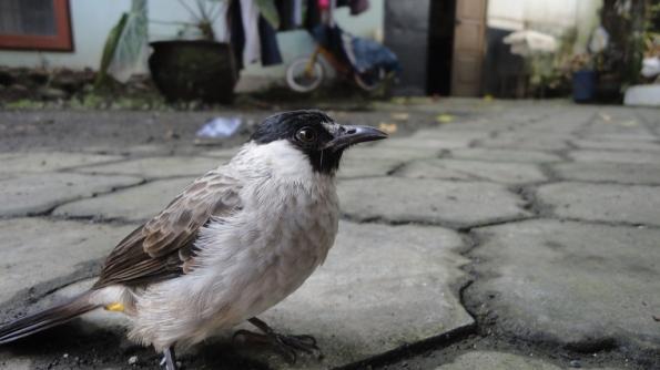 Burung Crukcuk ku